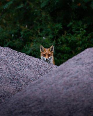 fox nature naturephotography nikon