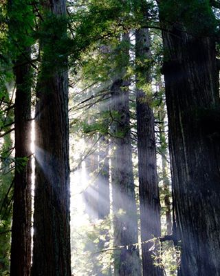 fujifilm light oldredwood bathingilight redwoods finartphoto streaminglight forestbathing xf56mm consiousness californiaredwood lightstreaming xt3 redwoodforest