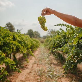 wset emmaespejo vendimia photographerbarcelona grapeharvest brandphotography contentcreator branding winelover contenido
