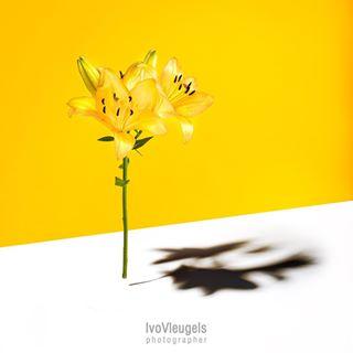 artphotography dupho fineart flowerphotography heerlen heerlenmijnstad photography sonya7riii studiophotographer studiophotography urbanheerlen yellow zeisscameralenses zeisslens