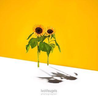 art bespoke fineartphotography flowerphotography flowers heerlen heerlenmijnstad photographer photooftheday picofthedays studiophotographer studiophotography sunflower