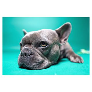 photography portrait sonycamera sonyalphasclub colourphotography modeloftheday struerlydensby bulldog sigma24mmart new sigmaart zoeythefrenchie dog frenchie sonya7iii denmark sigma sonyalpha photostudio