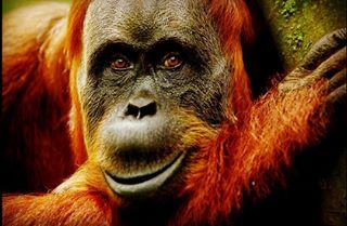 frank_neßlage nessipictures sumatra suna indonesia orangutan bukitlawang