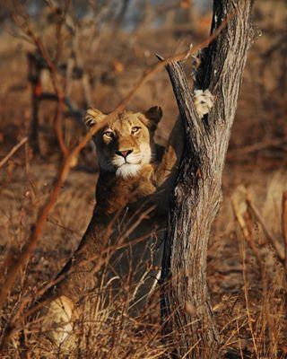nikon animals felin nikonitalia photography safari travelgram africa predator kruger picoftheday travel krugerpark lion wild sudafrica nikondaily
