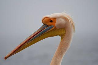 nikon pellicano nikond7500 walwisbay picoftheday africa bird animal nikonitalia namibia photography