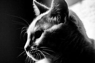 blackandwhite cats_of_instagram bwphotooftheday fluffycat cat bestbwpics canonfrance catofinstagram canonphotographer bw canon canonphoto bwphotography chat mycanonstory picoftheday canonphotography catpic canoneos2000d mycanon