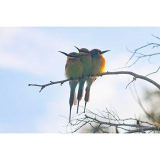 srilanka natgeo udawalawenationalpark pretty asia pose cute nature canon beautiful smallbird nationalpark whitethroatedbeeeater asianbird udawalawe beaeater colors nationalgeographic photograph feathers