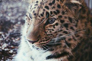 amurleopard viennazoo