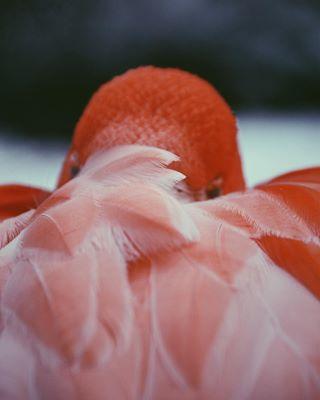 canon birdsofinstagram macrophotography naturephotography animalphotography vscofilter viennazoo bird flamingo