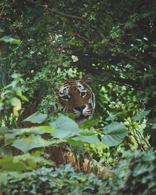 tiger animalphotography canon tigris zoovienna naturephotography felidae panthera animalfacts