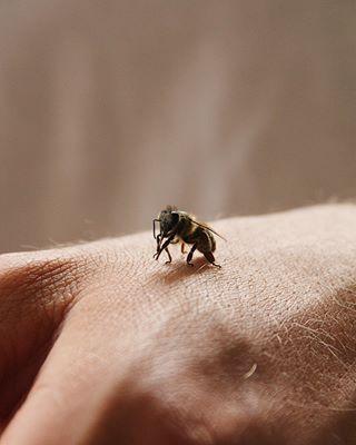 hymenoptera insectsofinstagram savethebees apidae canon animalfacts animalsofinstagram bee