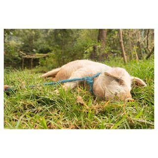 travelphotography myart animals instapic travelgram travel myphotography animales pig naturaleza sonya7ii greenworld