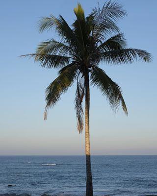 palmtree ngwesaungbeach burma myanmar palmobsession palm