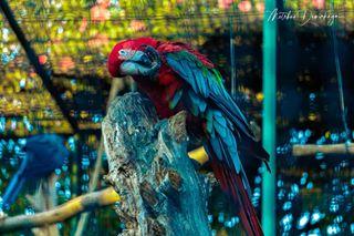 adobe after animal before beforeandafter blue bokeh bunt color colorful colors düzce farukyalcinzoo green lens lightroom papagei parrot red tree turkey vivid wild wildlife zoo zoom