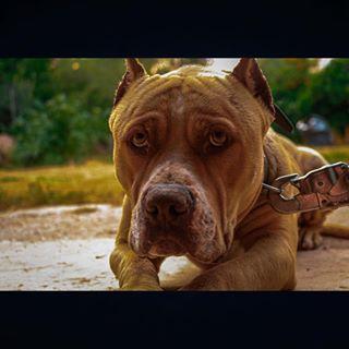 canon oldbutgold rednose pitbull photography