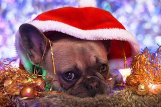 frenchiephotography frenchie christmasdecorations brandonwoelfel bokeh christmaslights christmafrenchie frenchbulldog christmasdecorating christmaspup christmas brandonwoelfelinspired