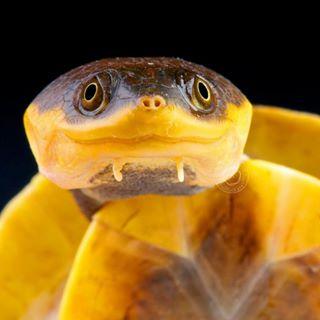 turtle southamerica curious amazontoadheadedturtle brazil batrachemys reptiles4all reptilesofinstagram turtlesofinstagram nofilter yellow reptile