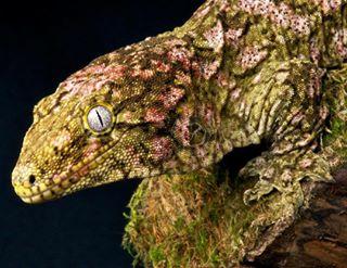 reptilesofinstagram lizardsofinstagram lizard camouflage rhacodactylusleachianus largest geckos reptiles4all reptile newcaledoniangecko giant giantgecko newcaledonia newcaledoniangiantgecko