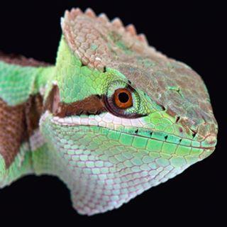 predator honduras mexico lizardsofinstagram iguanid iguana laemanctusserratus wildlife casqueheadiguana nofilter reptiles4all reptile lizard