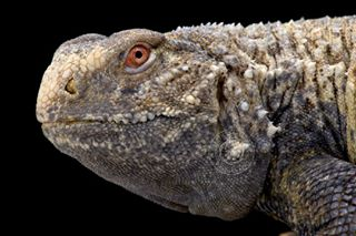 wildlifephotography wildlife unique spinytailedlizard saaraloricata saara reptilesofinstagram reptile portrait nofilter lizardsofinstagram lizard iraq iran dragon agama