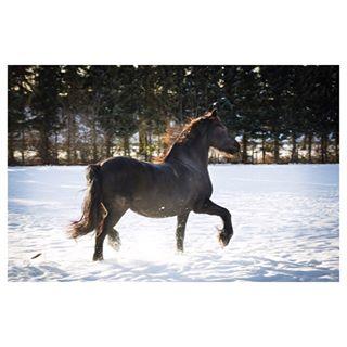 yvettesminkfotografie winter horsesofinstagram frisian canon