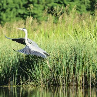 poland heron nature shoot canon750d green travel reed light kayak masuria wildbird exposure grace trip outdoors polishwildlife explore natgeoyourshot water vacation shootpoland create canonphotos sunlight river wildlife lakes canonphotography summer