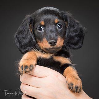 dachshundsofinstagram dachshund